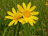 flor da árnica